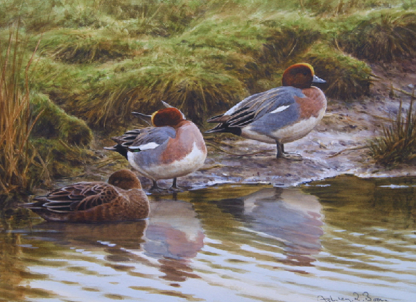 Wigeon/ Wildfowling/ Duck Shooting/ Hunting/ Images/Paintings/Art